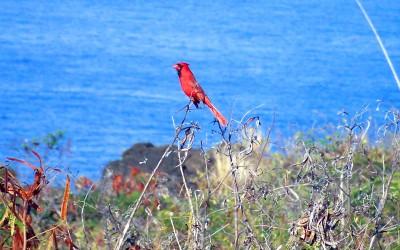 Hawaii Red Northern Cardinal