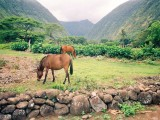Waipio Valley Scene