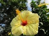 Hawaii Yellow Hibiscus