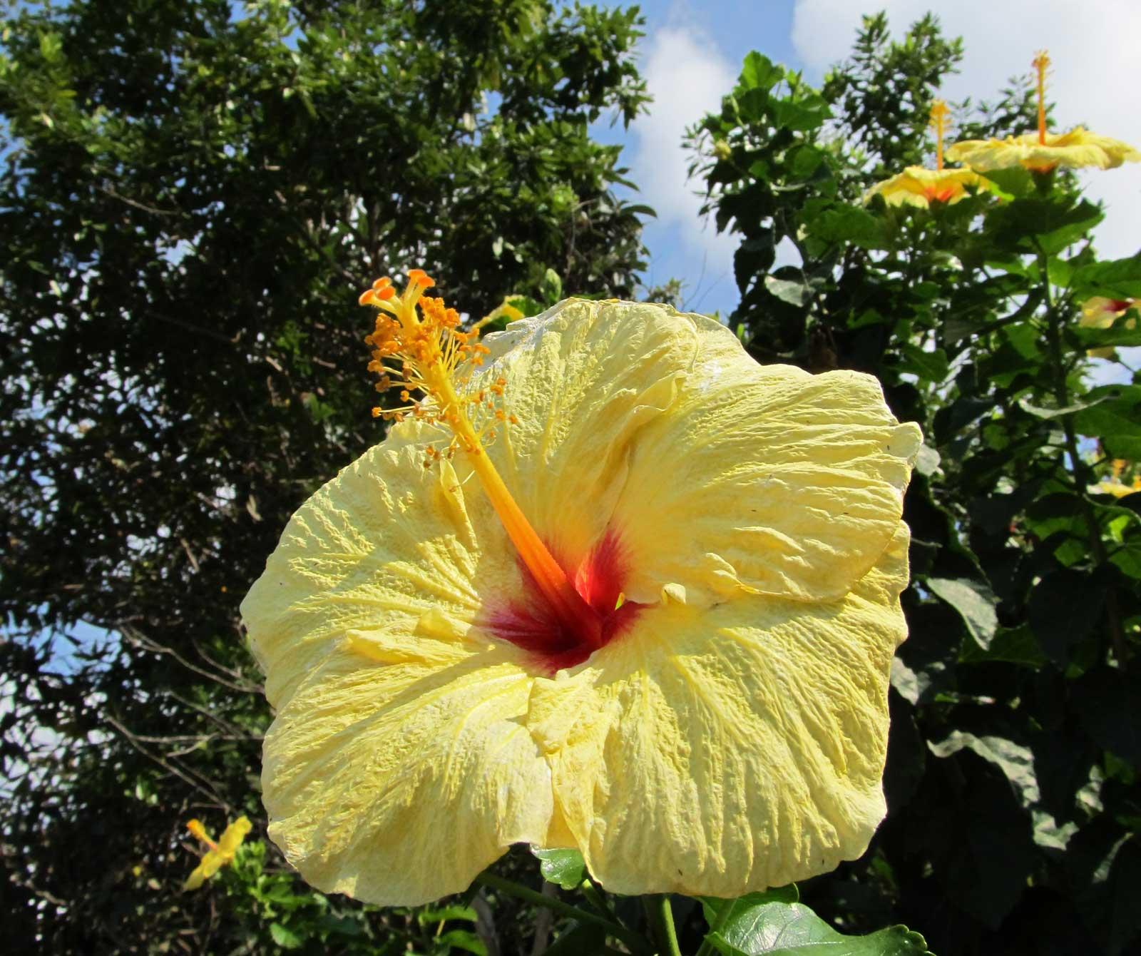 Hawaii Yellow Hibiscus Hawaii