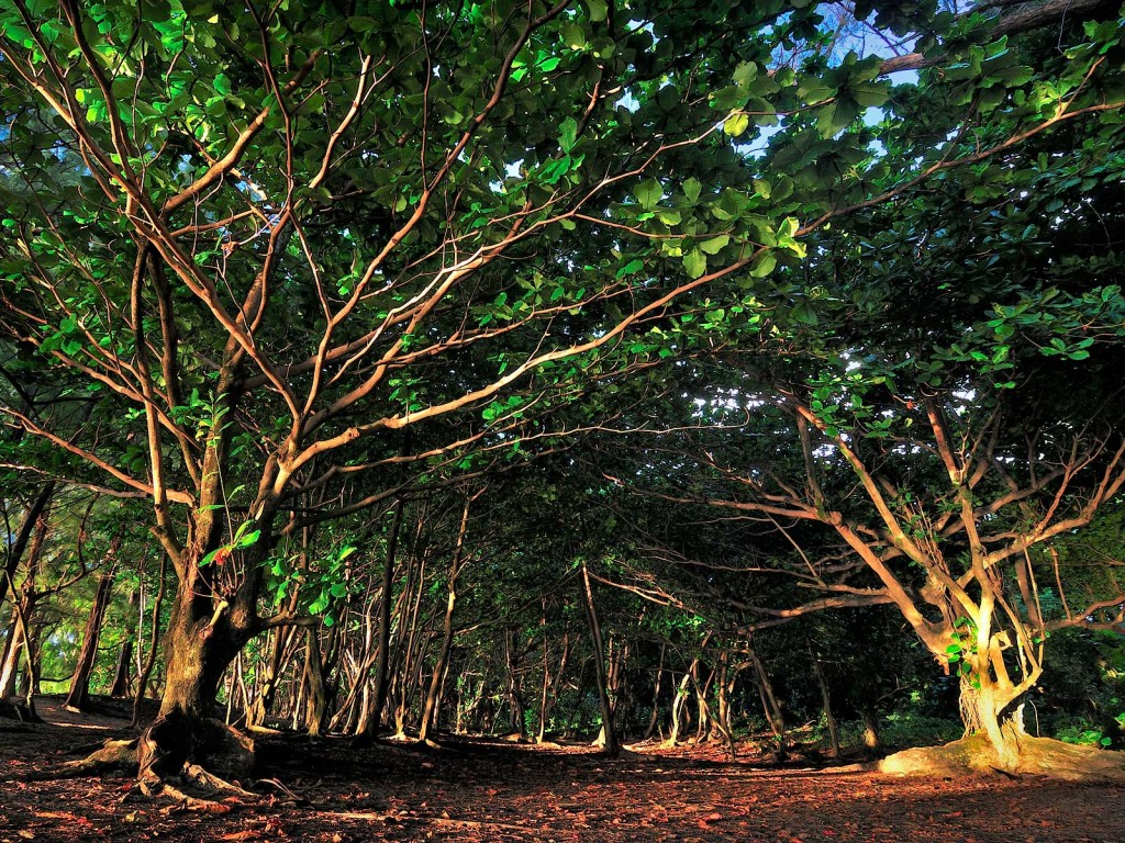 Ke'e Beach Trees, Kauai