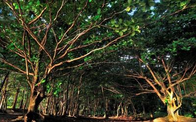 Ke'e Beach Trees, Kauai
