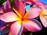 Kauai Pink Plumeria