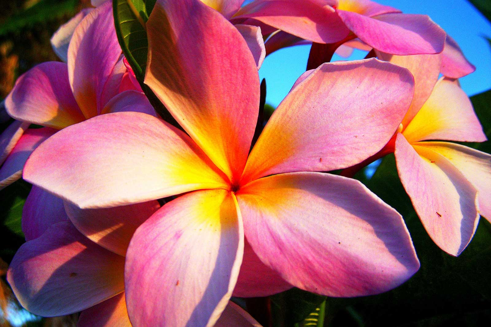 Pretty pink plumeria hawaii pictures izmirmasajfo Choice Image