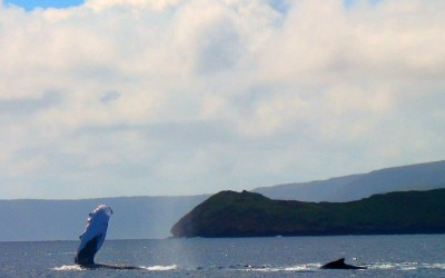 Humpback Whale Waving