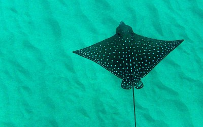 Spotted Eagle Ray Oahu