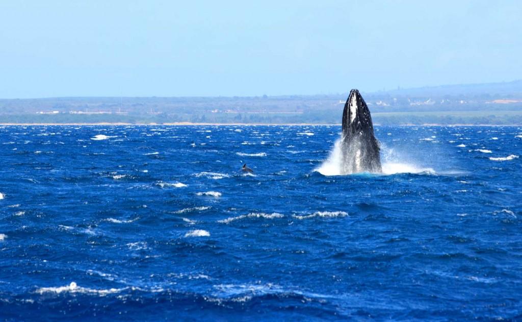 maui-humpback-whale