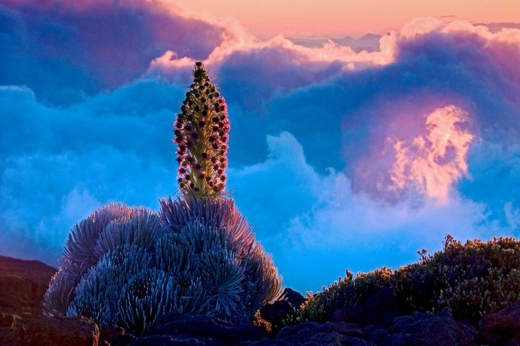 Hawaiian Silversword at Sunset