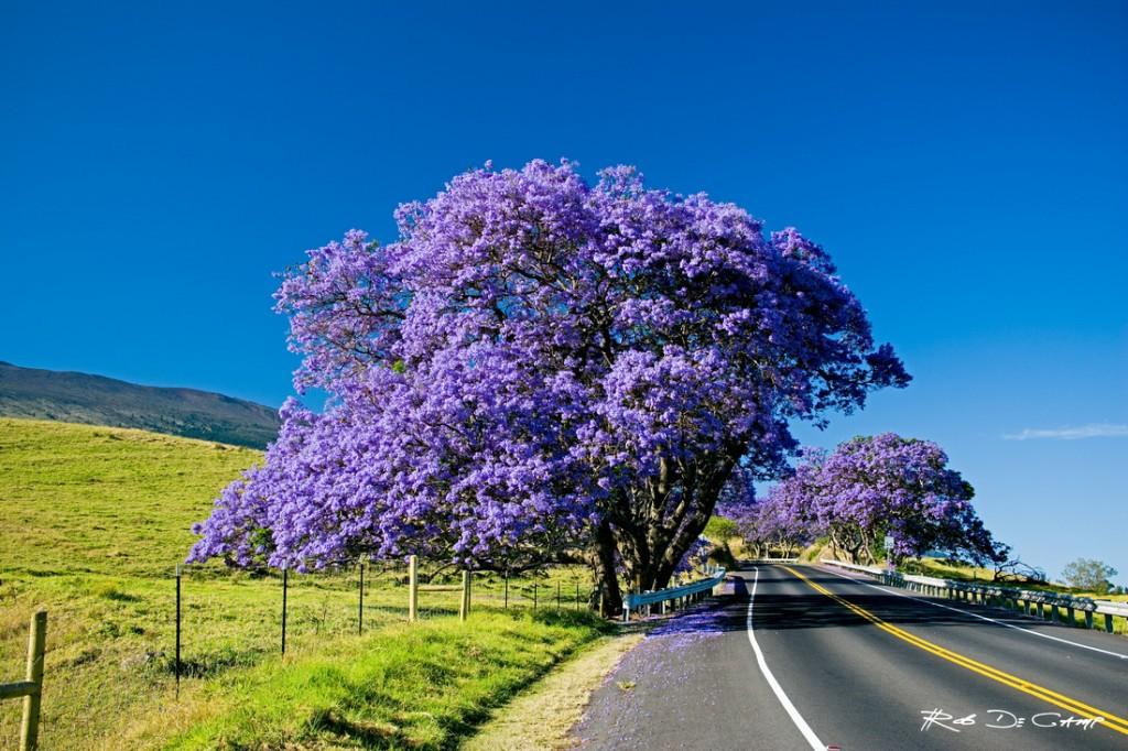 Dazzling Jacaranda, Haleakala Maui - Hawaii Pictures
