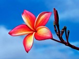 The Boasting Plumeria