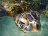 Sea Turtle Close Up, Big Island Hawaii