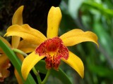 Yellow Orchid, Big Island Hawaii