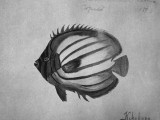 Kikekapu Butterfly fish Drawing