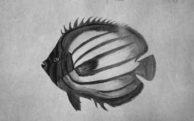 Kikekapu Butterfly fish Drawing