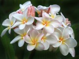 Hawaii Plumeria Bunch