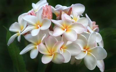 Hawaii Plumeria Bunch