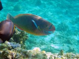 Spectacled Parrotfish Hawaii