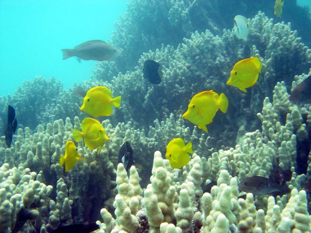 Hawaii Yellow Tangs