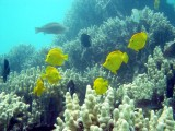 Hawaii Yellow Tangs