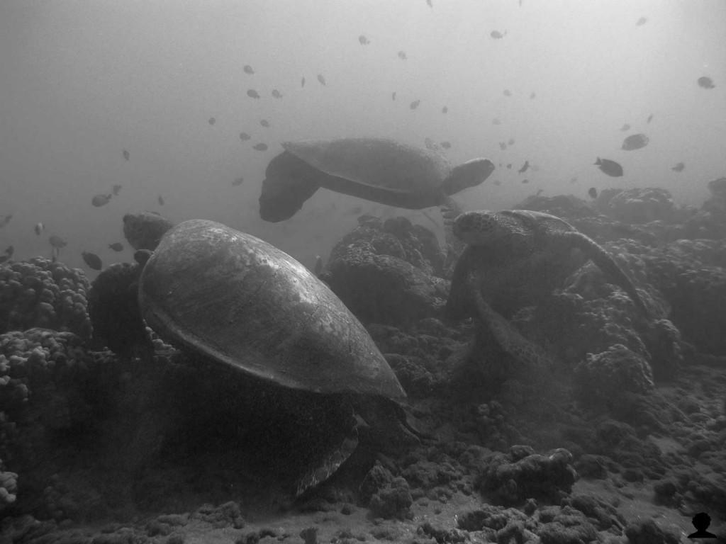 3 Hawaiian Sea Turtles