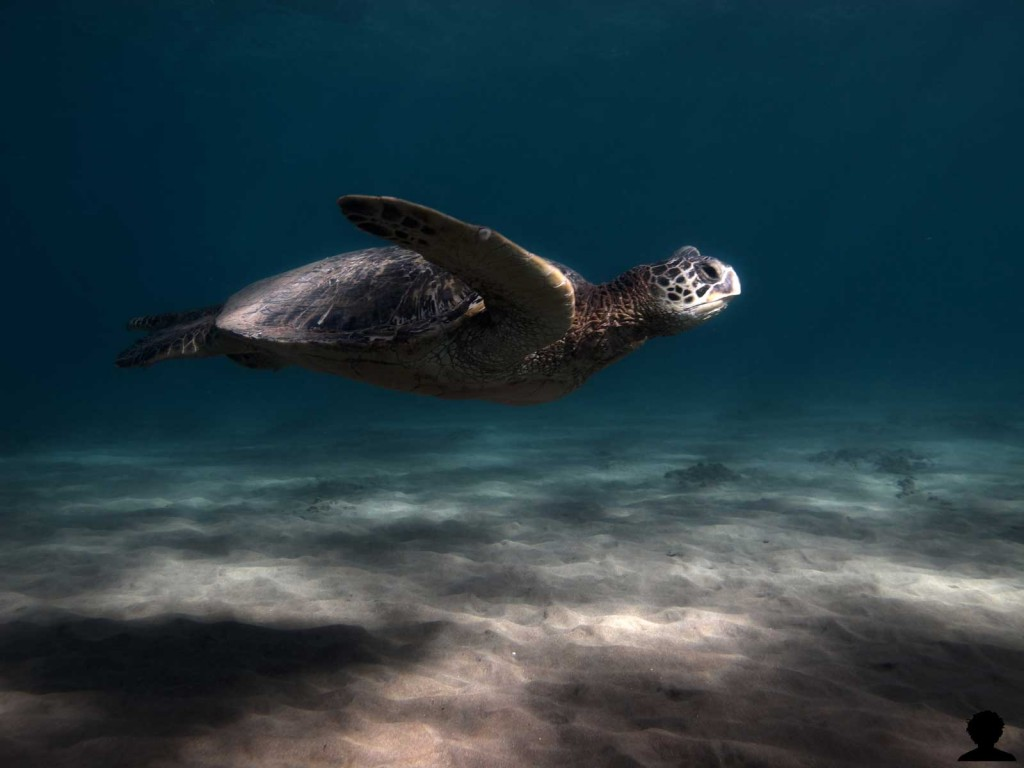 Sea Turtle in the Shallows