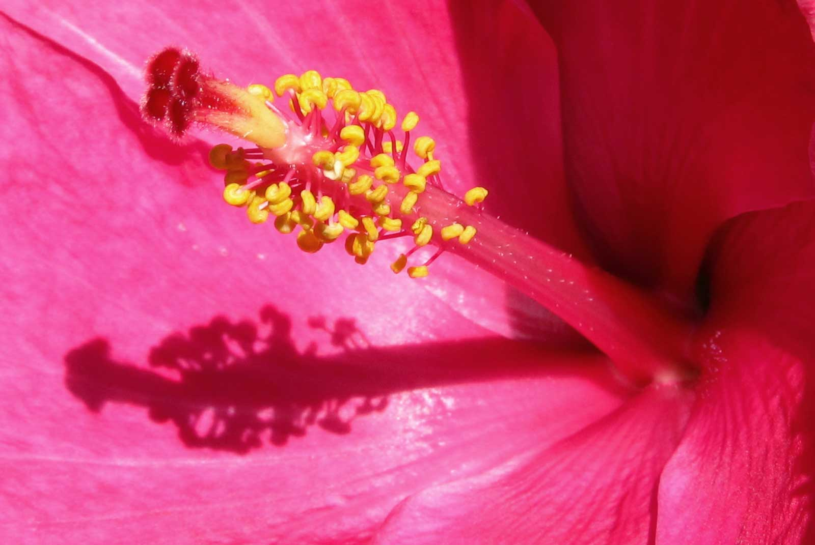 Pink Hibiscus Up Close and Personal - Hawaii Pictures