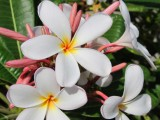 Young, White and Yellow Plumeria