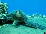 Honu Chillin
