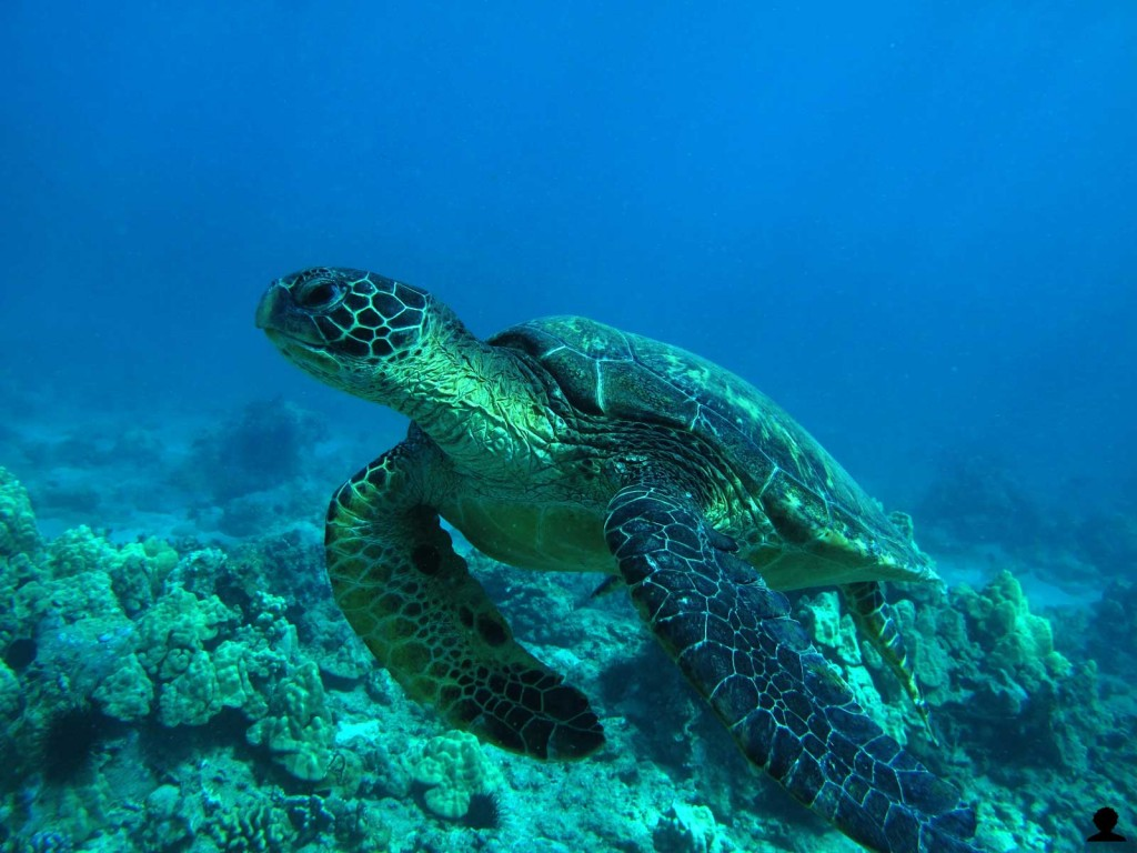 Hawaiian Sea Turtle Fly By