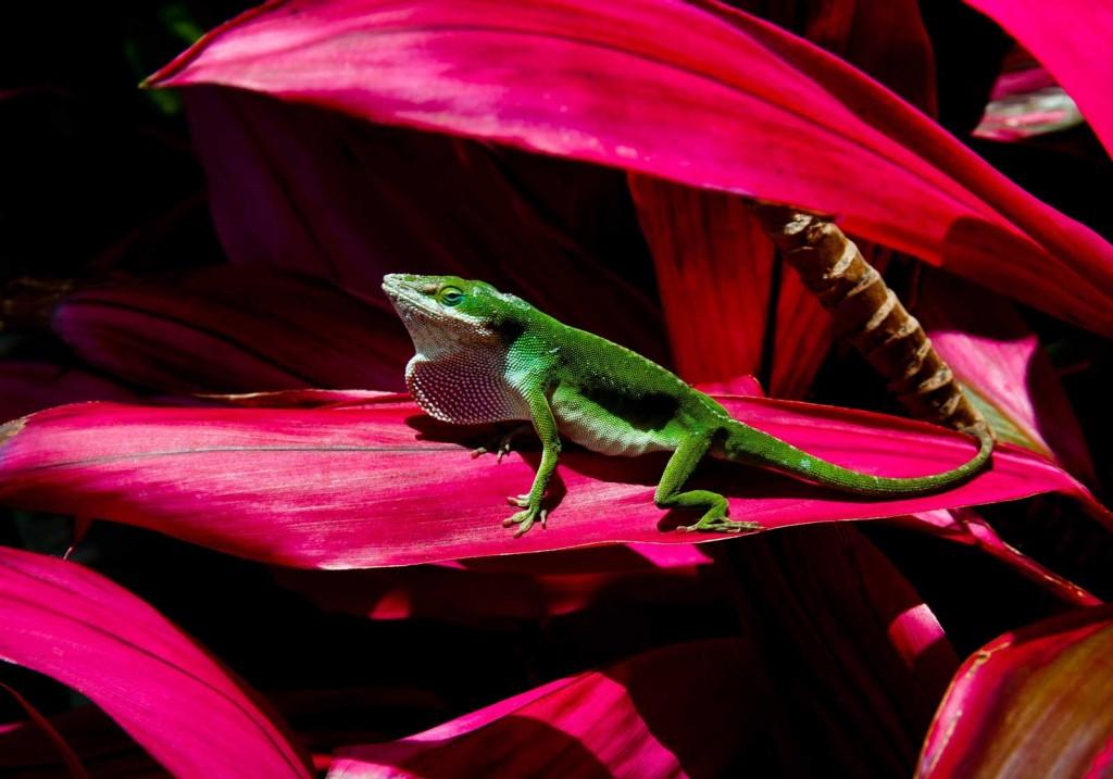Green Anole Lizard, Maui