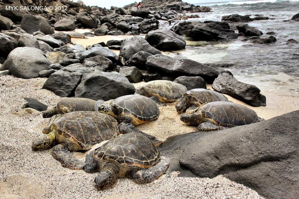 Green Sea Turtle Family, Oahu