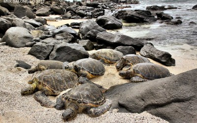 Green Sea Turtle Family, Oahu