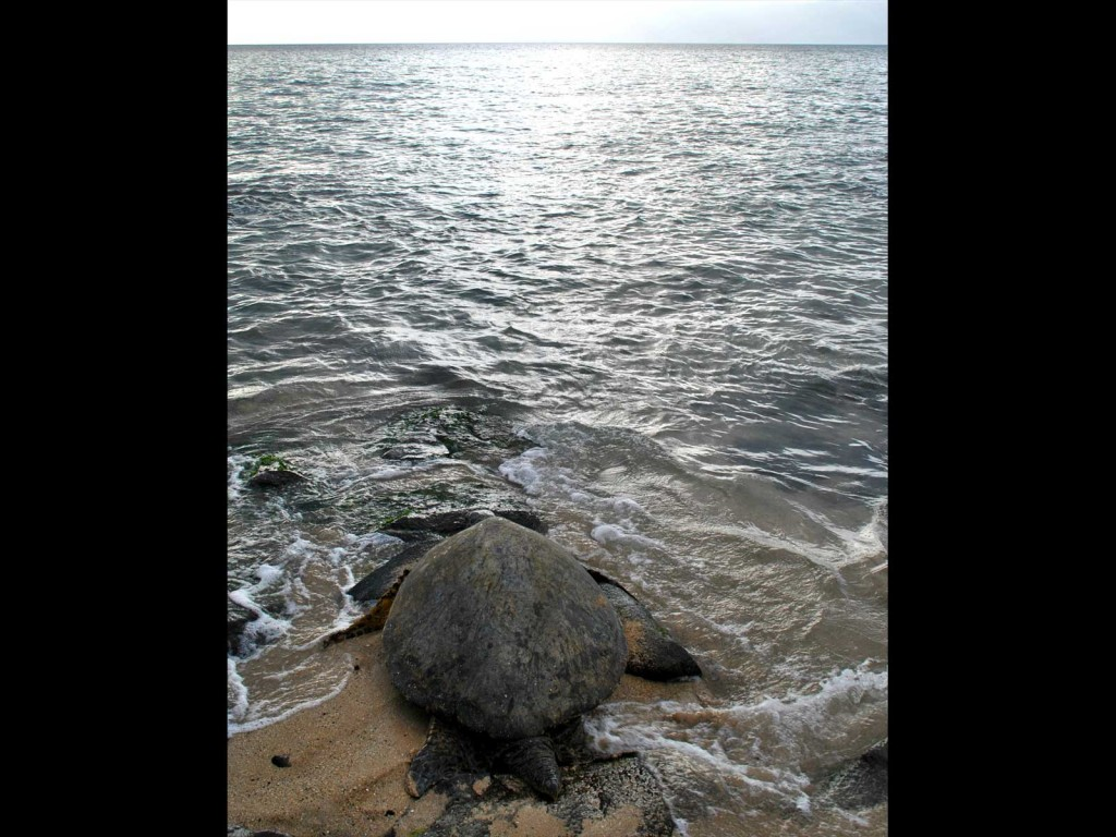 Maui Turtle Heading To Sea