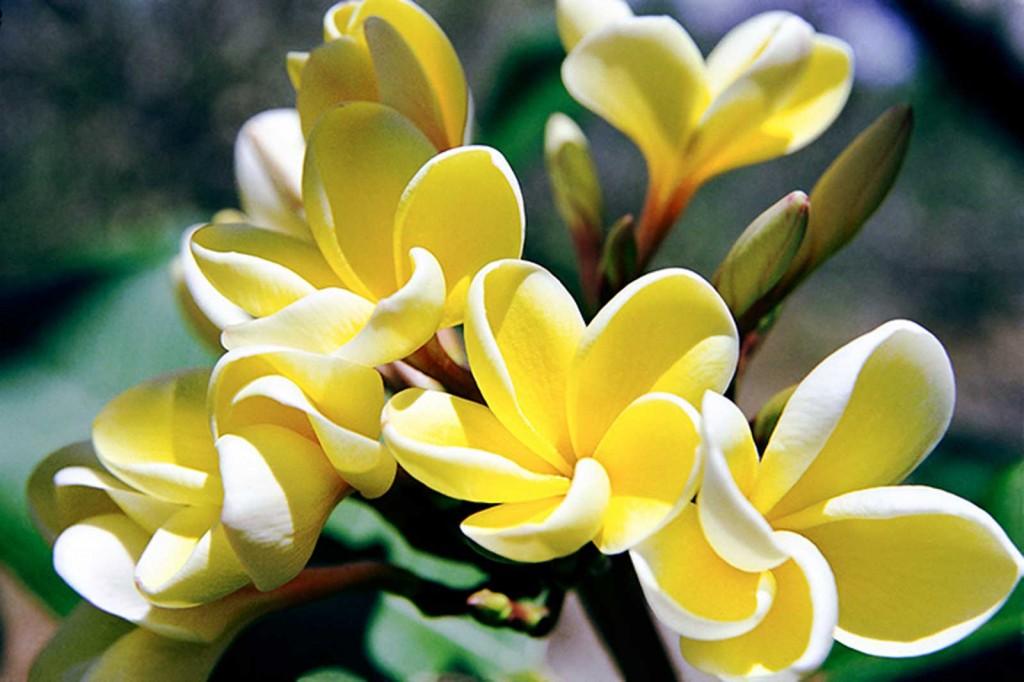 Yellow Plumeria, Hawaii
