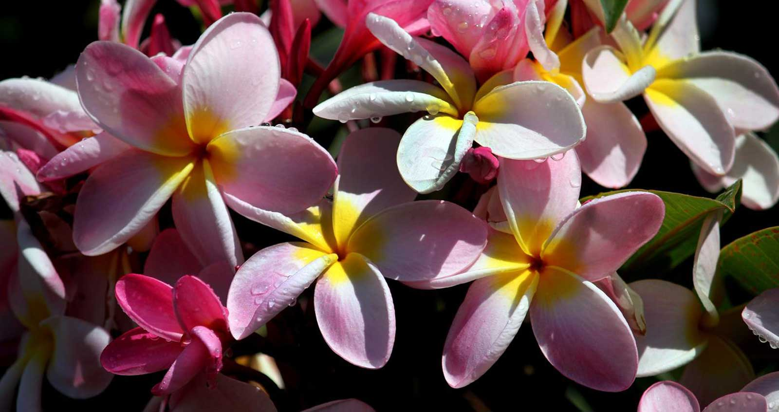 Pink Yellow Flower Plumeria Bunch With Nature Plant On ... |Plumeria Bunches