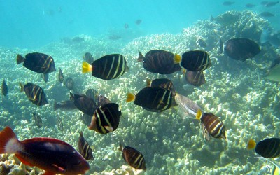 Sailfin Tang with Coral