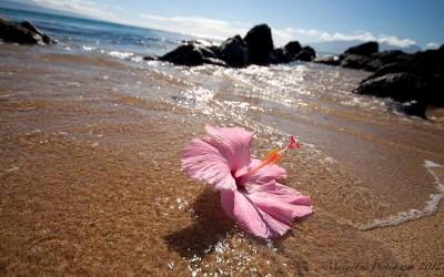 Hibiscus Adrift