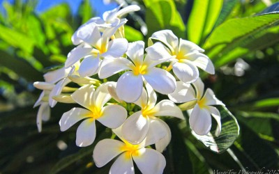 White Hawaii Plumeria