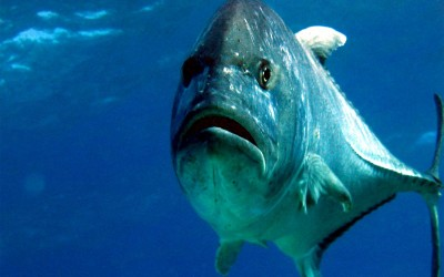 Giant Trevally, Ulua