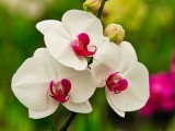 Hawaii White Moth Orchid