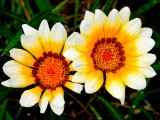 White-tipped Yellow Gazania (Treasure Flower)