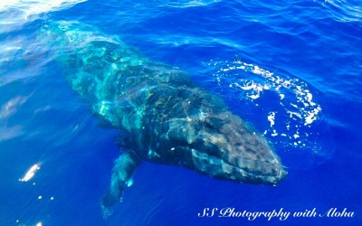 Humpback Whale just beneath the surface, Maui
