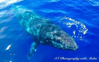 Humpback Whale just beneath the surface, Maui