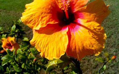 Yellow Red Hibiscus, Hawaii