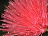 Ohia Lehua Flower