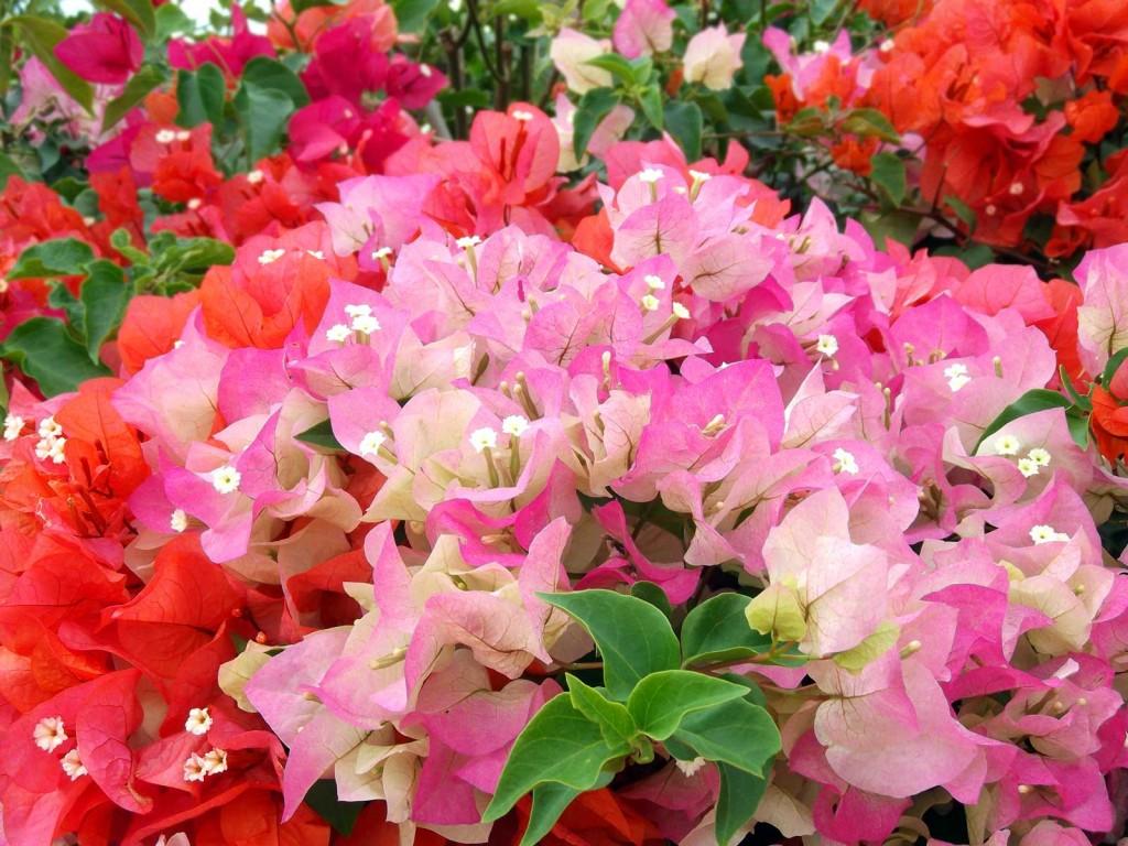 Bouganvilla Bouquet