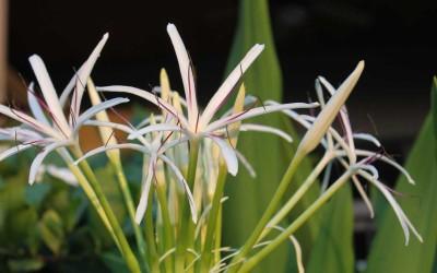 Hawaii 6-petal white flower