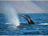humpbacks-diving