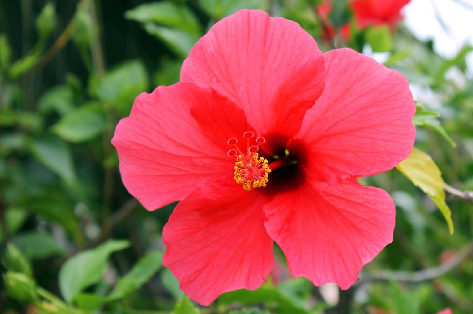 Ulaula hibiscus hawaii pictures ulaula hibiscus hawaii pictures izmirmasajfo
