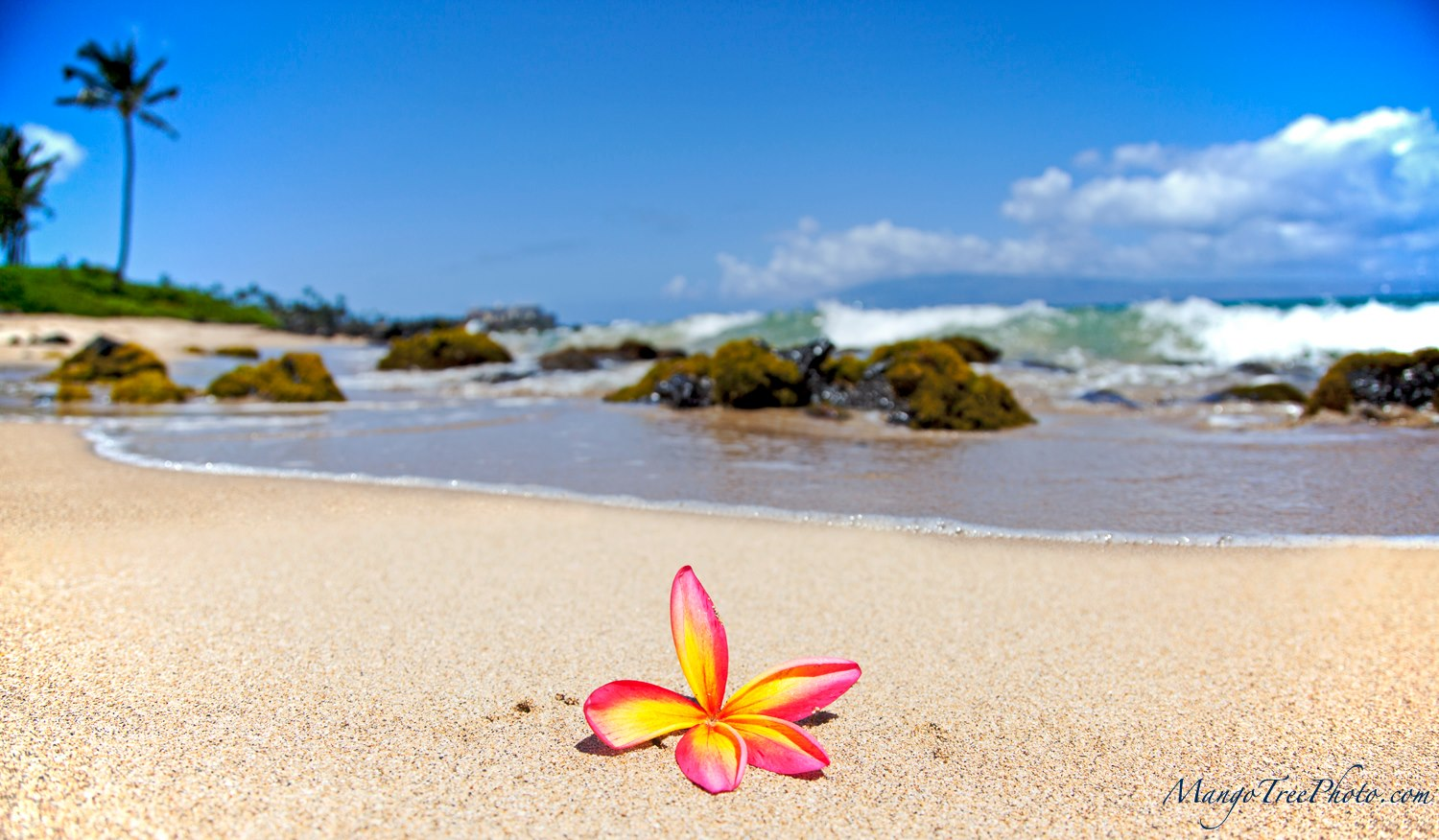 Plumeria On The Beach  Hawaii Pictures